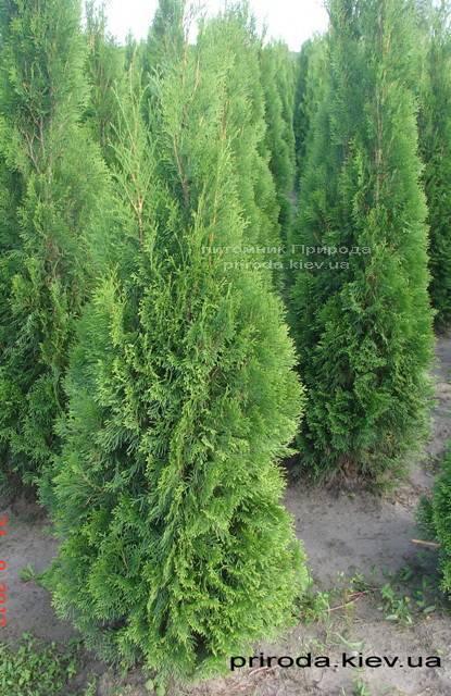 Туя західна Смарагд (Thuja occidentalis Smaragd) ФОТО Розплідник рослин Природа Priroda (47)