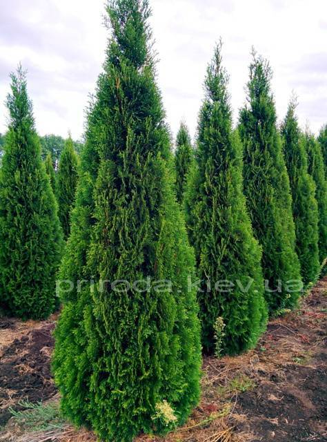 Туя западная Смарагд (Thuja occidentalis Smaragd) ФОТО Питомник растений Природа Priroda (50)