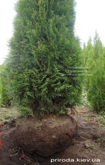 Туя західна Смарагд (Thuja occidentalis Smaragd) ФОТО Розплідник рослин Природа Priroda (55)