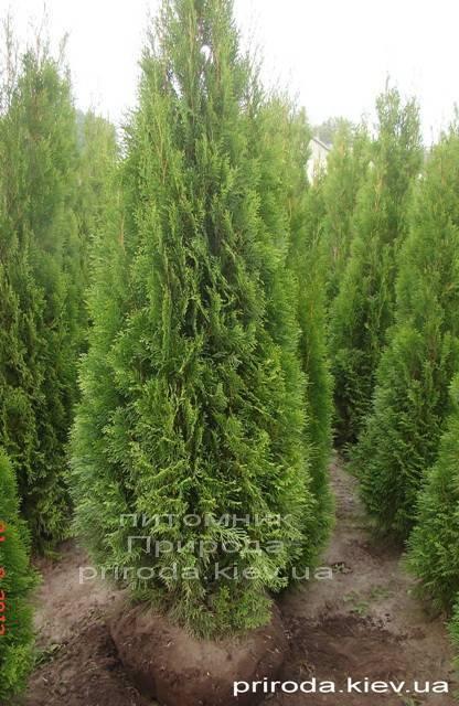 Туя західна Смарагд (Thuja occidentalis Smaragd) ФОТО Розплідник рослин Природа Priroda (56)
