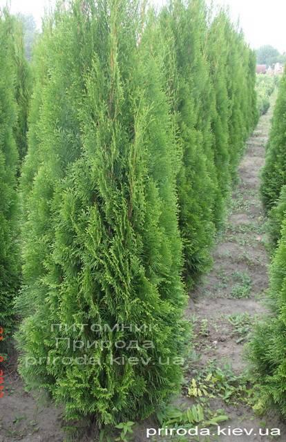 Туя західна Смарагд (Thuja occidentalis Smaragd) ФОТО Розплідник рослин Природа Priroda (57)