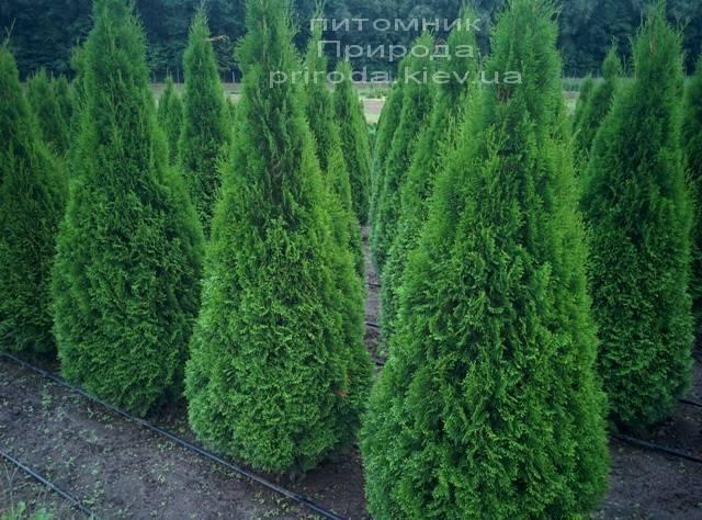 Туя западная Смарагд (Thuja occidentalis Smaragd) ФОТО Питомник растений Природа Priroda (59)
