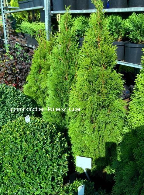 Туя західна Смарагд (Thuja occidentalis Smaragd) ФОТО Розплідник рослин Природа Priroda (48)