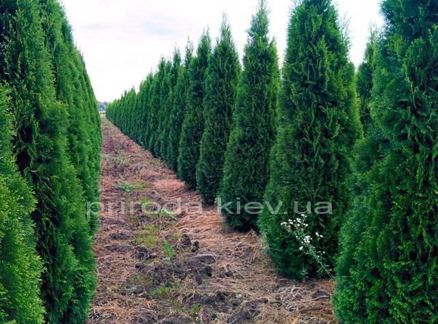 Туя западная Смарагд (Thuja occidentalis Smaragd) ФОТО Питомник растений Природа Priroda (51)