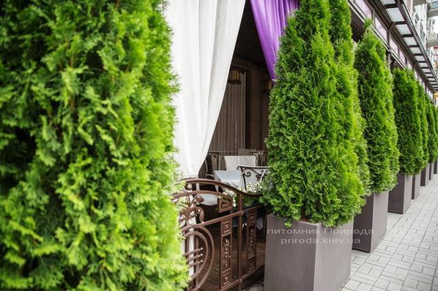 Туя західна Смарагд. Готель Premier Palace Hotel, м.Київ