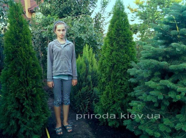 Туя западная Смарагд (Thuja occidentalis Smaragd) ФОТО Питомник растений Природа Priroda (61)