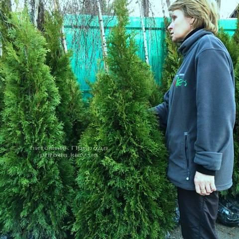 Туя західна Смарагд (Thuja occidentalis Smaragd) ФОТО Розплідник рослин Природа Priroda (49)