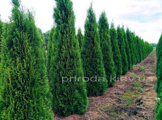 Туя западная Смарагд (Thuja occidentalis Smaragd) ФОТО Питомник растений Природа Priroda (52)