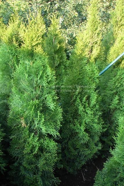Туя западная Смарагд (Thuja occidentalis Smaragd) ФОТО Питомник растений Природа Priroda (46)