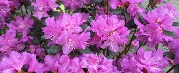 Рододендрон мелкоцветковый Rododendron P.J.M. Regal ФОТО Питомник растений Природа Priroda (104)