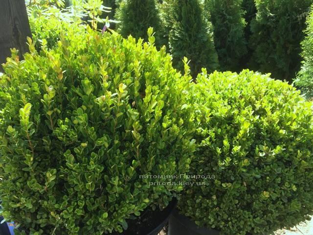 Самшит мелколістний Фолкнер Куля (Buxus microphilla Faulkner Boll) ФОТО Розплідник рослин Природа Priroda (1)