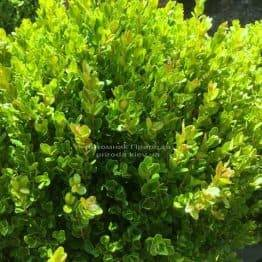 Самшит мелколистный Фолкнер Шар (Buxus microphilla Faulkner Boll) ФОТО Питомник растений Природа Priroda (2)