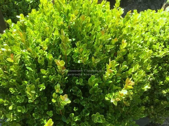 Самшит мелколістний Фолкнер Куля (Buxus microphilla Faulkner Boll) ФОТО Розплідник рослин Природа Priroda (2)