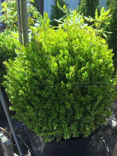 Самшит мелколістний Фолкнер Куля (Buxus microphilla Faulkner Boll) ФОТО Розплідник рослин Природа Priroda (3)