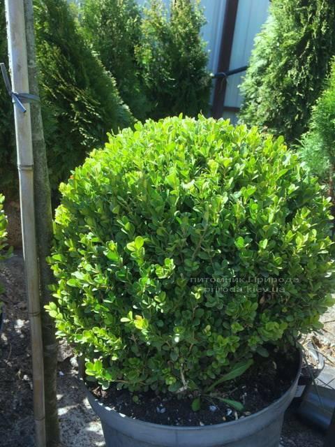 Самшит мелколістний Фолкнер Куля (Buxus microphilla Faulkner Boll) ФОТО Розплідник рослин Природа Priroda (4)