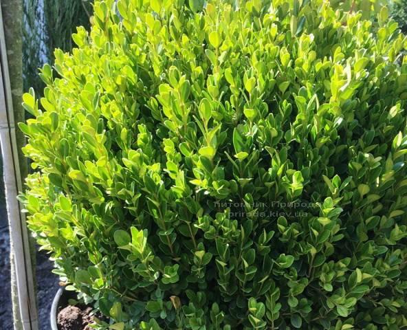 Самшит мелколістний Фолкнер Куля (Buxus microphilla Faulkner Boll) ФОТО Розплідник рослин Природа Priroda (5)