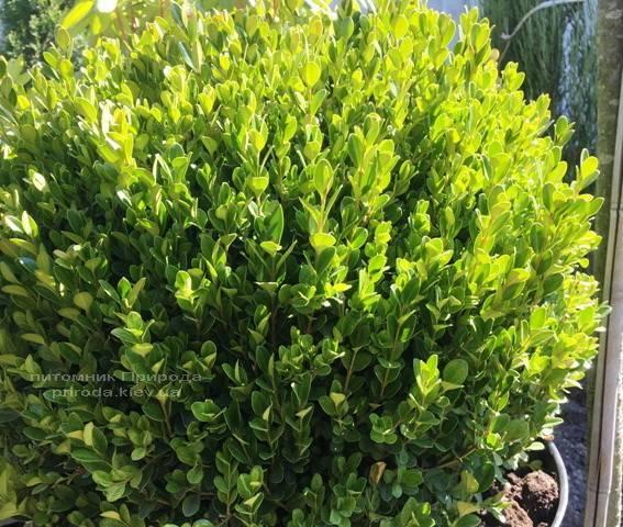 Самшит мелколістний Фолкнер Куля (Buxus microphilla Faulkner Boll) ФОТО Розплідник рослин Природа Priroda (6)