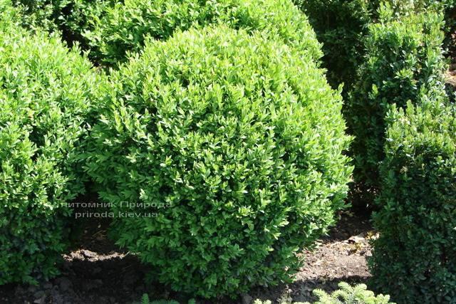 Самшит вечнозелёный Шар (Buxus sempervirens Boll) ФОТО Питомник растений Природа Priroda (16)