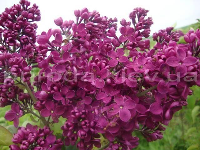 Бузок звичайний Фюрст Бюлов (Syringa vulgaris Furst Bulov) ФОТО Розплідник рослин Природа Priroda (32)