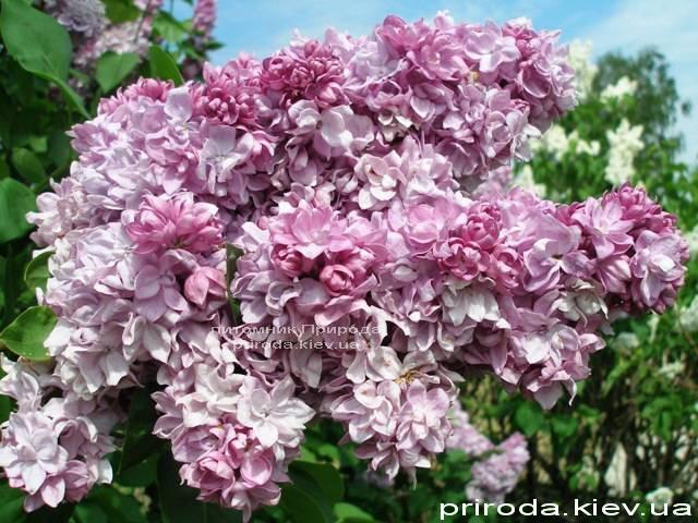 Сирень обыкновенная Кэтрин Хавемейер (Syringa vulgaris Kathrine Havemeyer) ФОТО Питомник растений Природа Priroda (47)