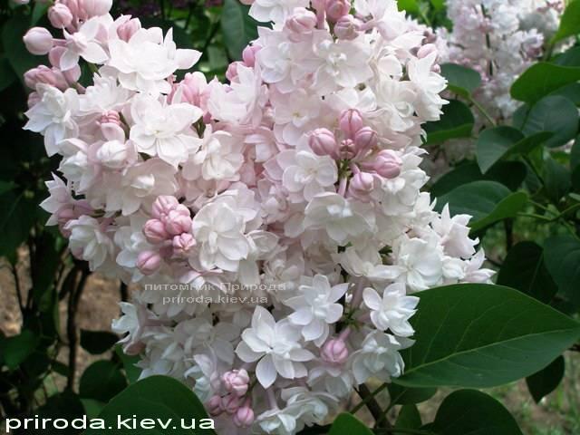 Бузок звичайний Красуня Москви (Syringa vulgaris Krasawica Moskwy) ФОТО Розплідник рослин Природа Priroda (58)