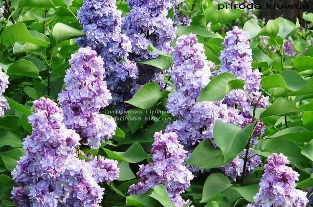 Бузок звичайний Мішель Бюхнер (Syringa vulgaris Michel Buchner) ФОТО Розплідник рослин Природа Priroda (41)