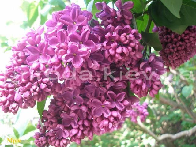 Сирень обыкновенная Мрия (Мечта) (Syringa vulgaris Mrija) ФОТО Питомник растений Природа Priroda (33)