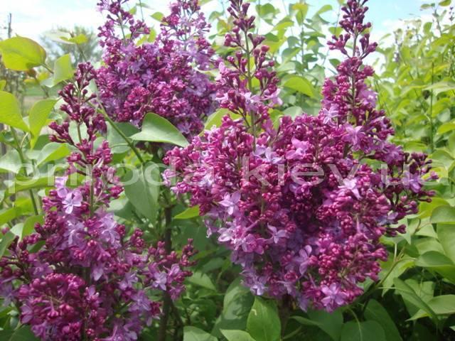 Бузок звичайний Президент Лубе (Syringa vulgaris President Loubet) ФОТО Розплідник рослин Природа Priroda (30)
