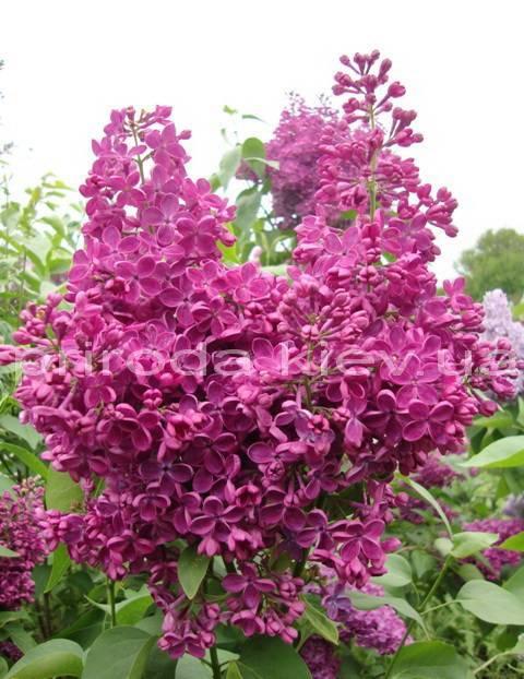 Бузок звичайний Реомюр (Syringa vulgaris Reomjur) ФОТО Розплідник рослин Природа Priroda (34)
