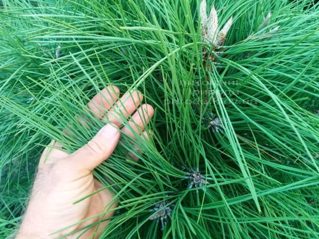 Сосна орегонская / жёлтая (Pinus ponderosa) ФОТО Питомник растений Природа Priroda (36)