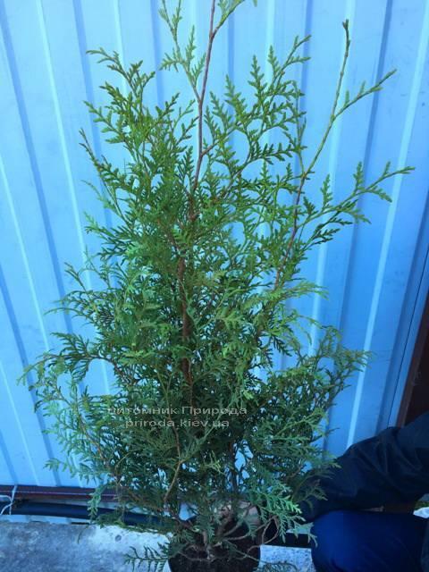 Туя західна Брабант (Thuja occidentalis Brabant) ФОТО Розплідник рослин Природа Priroda (17)