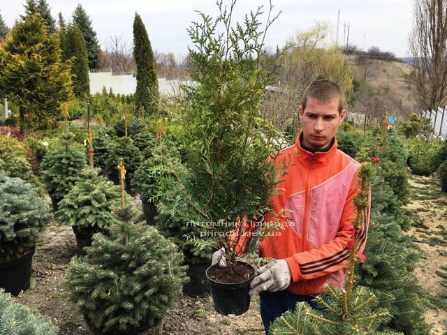 Туя західна Брабант (Thuja occidentalis Brabant) ФОТО Розплідник рослин Природа Priroda (18)