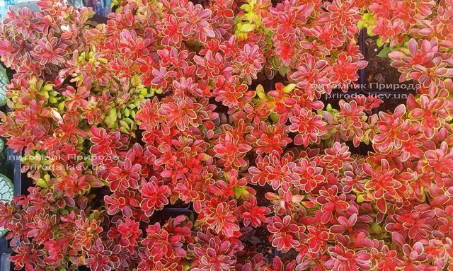 Барбарис Тунберга Адмирейшн (Berberis thunbergii Admiration) ФОТО Питомник растений Природа Priroda (18)