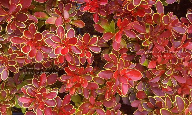 Барбарис Тунберга Адмирейшн (Berberis thunbergii Admiration) ФОТО Питомник растений Природа Priroda (19)