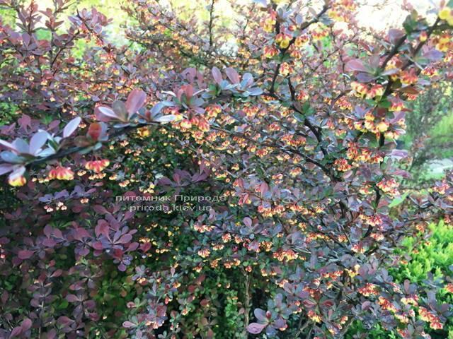Барбарис Тунберга Атропурпуреа (Berberis thunbergii Atropurpurea) ФОТО Розплідник рослин Природа Priroda (4)