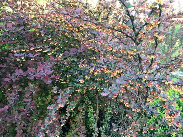 Барбарис Тунберга Атропурпуреа (Berberis thunbergii Atropurpurea) ФОТО Розплідник рослин Природа Priroda (5)