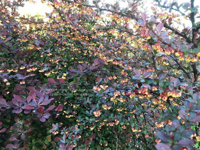 Барбарис Тунберга Атропурпуреа (Berberis thunbergii Atropurpurea) ФОТО Розплідник рослин Природа Priroda (6)
