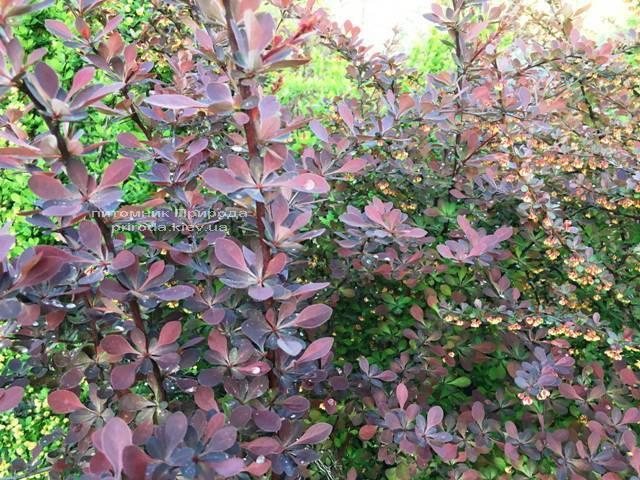 Барбарис Тунберга Атропурпуреа (Berberis thunbergii Atropurpurea) ФОТО Розплідник рослин Природа Priroda (7)