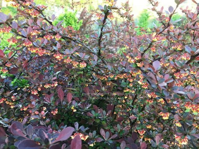 Барбарис Тунберга Атропурпуреа (Berberis thunbergii Atropurpurea) ФОТО Розплідник рослин Природа Priroda (9)