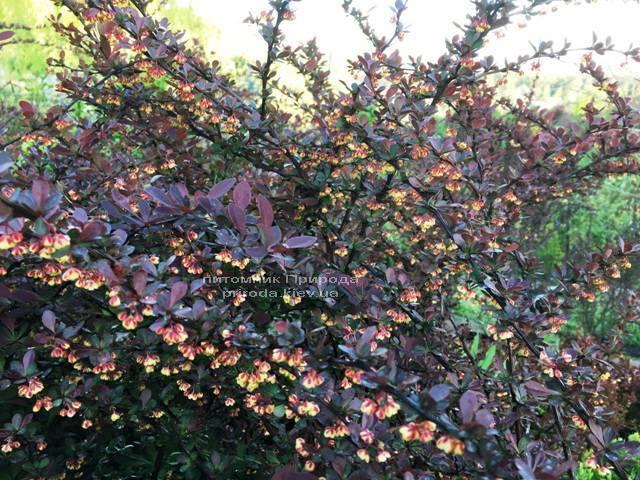 Барбарис Тунберга Атропурпуреа (Berberis thunbergii Atropurpurea) (10)