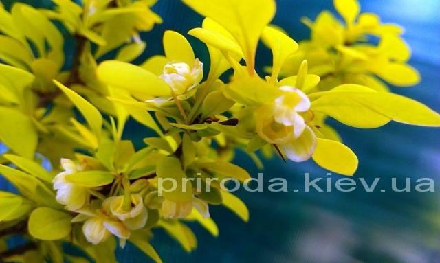 Барбарис Тунберга Ауреа (Berberis thunbergii Aurea) ФОТО Питомник растений Природа Priroda (35)