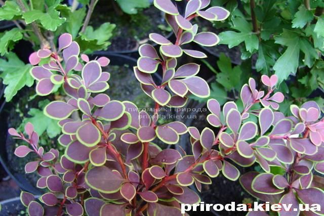 Барбарис Тунберга Голден Ринг (Berberis thunbergii Golden Ring) ФОТО Розплідник рослин Природа Priroda (25)