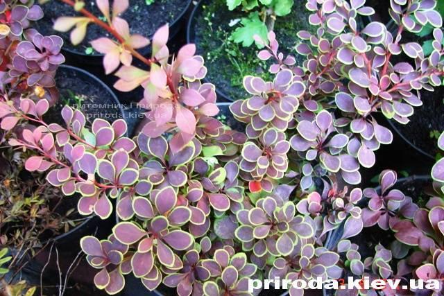 Барбарис Тунберга Голден Ринг (Berberis thunbergii Golden Ring) ФОТО Питомник растений Природа Priroda (26)
