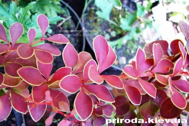 Барбарис Тунберга Голден Ринг (Berberis thunbergii Golden Ring) ФОТО Питомник растений Природа Priroda (27)