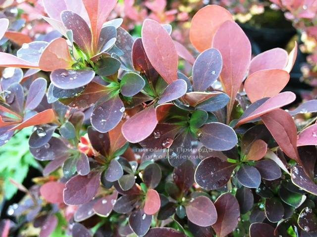 Барбарис Тунберга Голден Ринг (Berberis thunbergii Golden Ring) ФОТО Розплідник рослин Природа Priroda (31)