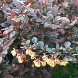 Барбарис Тунберга Дартс Рэд Лэди (Berberis thunbergii Dart's Red Lady) ФОТО Питомник растений Природа Priroda (46)