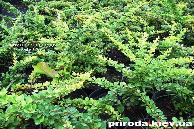 Барбарис Тунберга Грін Карпет (Berberis thunbergii Green Carpet) ФОТО Розплідник рослин Природа Priroda (11)