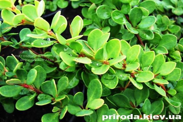 Барбарис Тунберга Грін Карпет (Berberis thunbergii Green Carpet) ФОТО Розплідник рослин Природа Priroda (12)