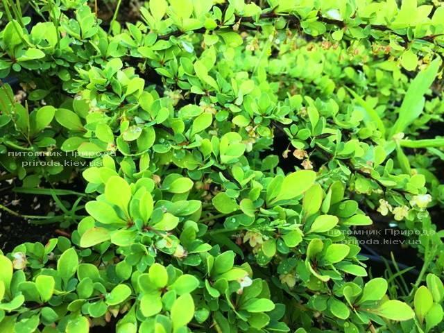 Барбарис Тунберга Грін Карпет (Berberis thunbergii Green Carpet) ФОТО Розплідник рослин Природа Priroda (15)