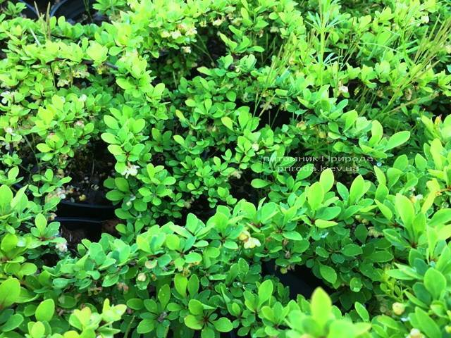 Барбарис Тунберга Грін Карпет (Berberis thunbergii Green Carpet) ФОТО Розплідник рослин Природа Priroda (16)